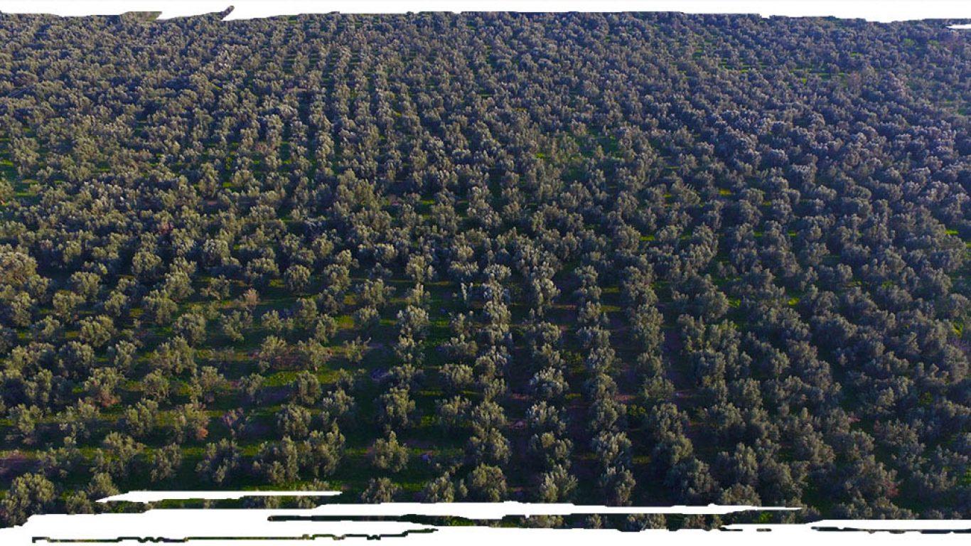 Mana- Elia (Mother-Olive Tree)